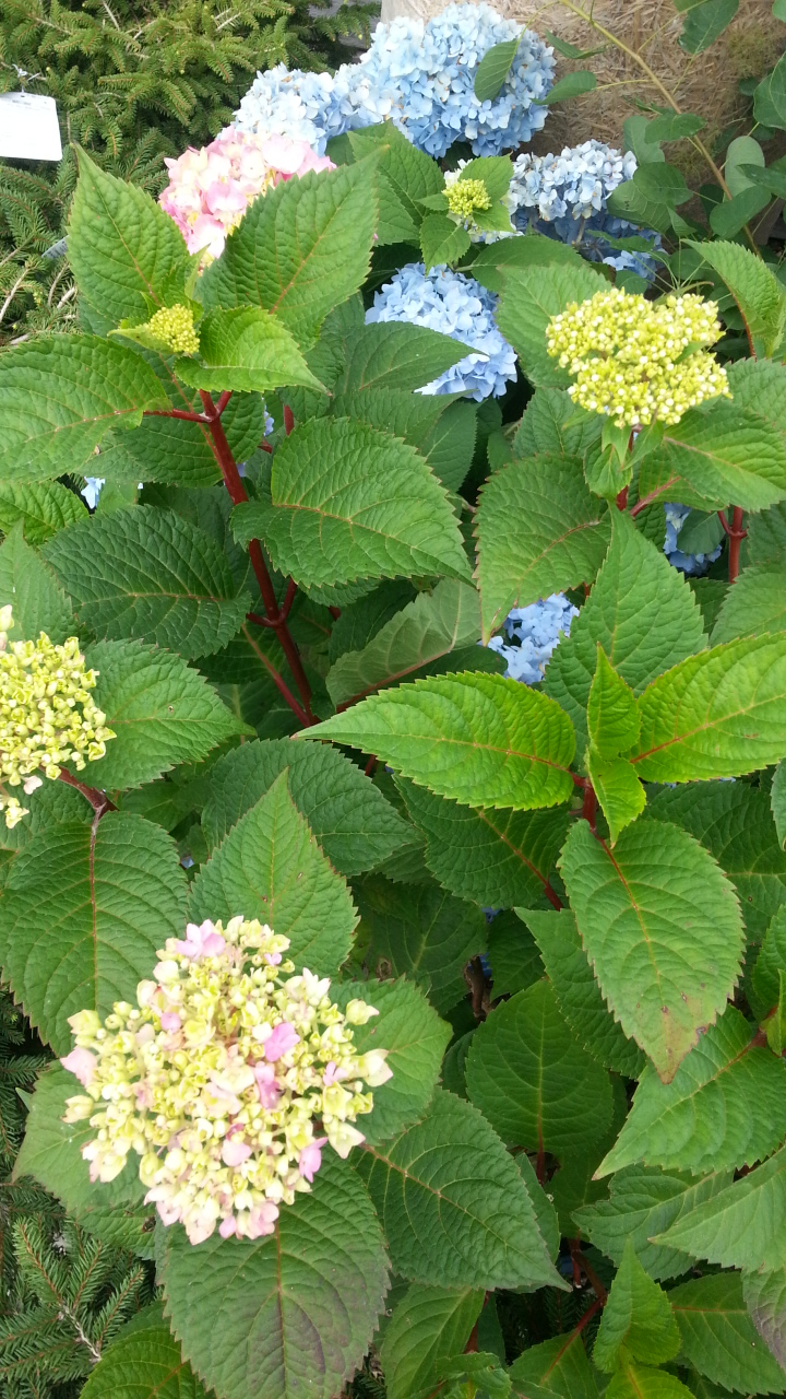 hydrangea, mid summer plant care, jensen nursery and garden center, winnipeg garden centres.