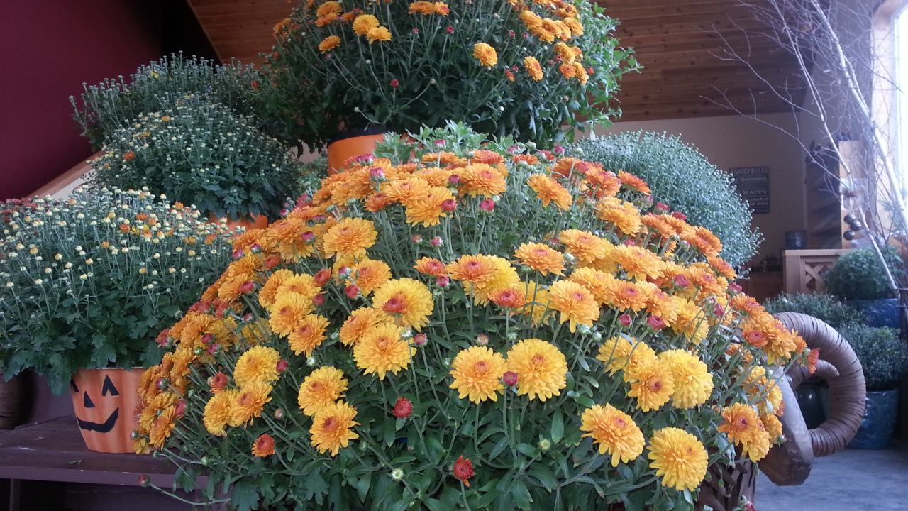 fall mums, winnipeg garden centers, fall planting classes using fall mums, jensen nursery and garden center