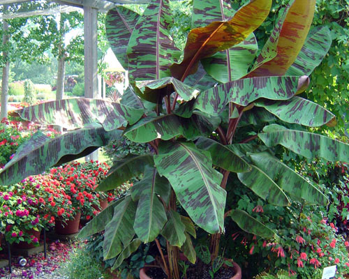 banana Plant Zebrina, Winnipeg, Jensen Nursery and Garden Center