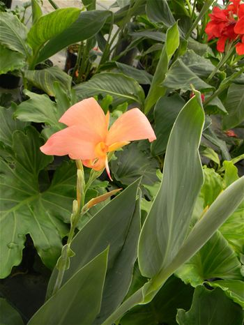 canna Erebus, Jensen Nursery and Garden Center, Winnipeg, manitoba