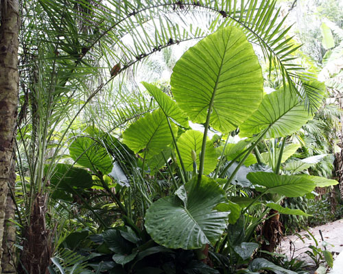 /Elephant Ear persian palm, Jensen Nursery and Garden Center, Winnipeg, Manitoba