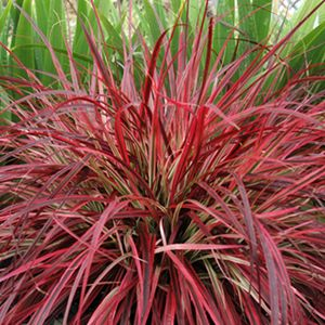 Fireworks Fountain Grass, Jensen Nurserya nd Garden Center, Winnipeg, Manitoba