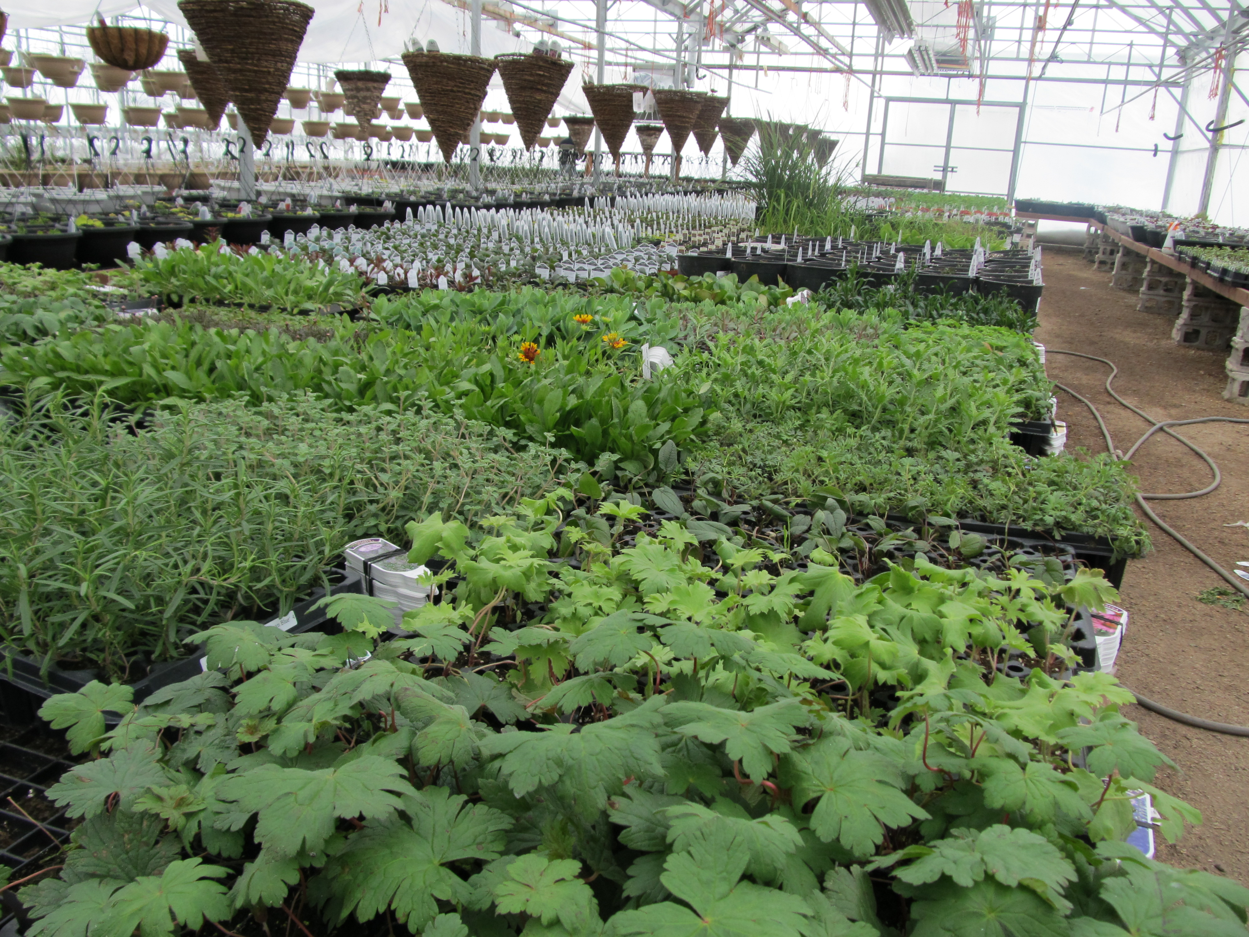 greenhuse, gardening center, nursery, jensen nursery and garden center , winnipeg, mcgillivray blvd, plants, bedding plants, hanging baskets, container gardening