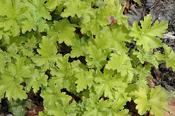 key lime coral bells, perennials, for sun or shade, jensen nursery , winnipeg