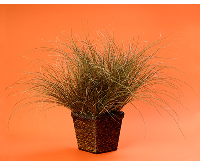TOFFEE TWIST GRASS, PROVEN WINNERS, WINNIPEG, JENSEN NURSERY AND GARDEN CENTER, CONTAINER GARDENING