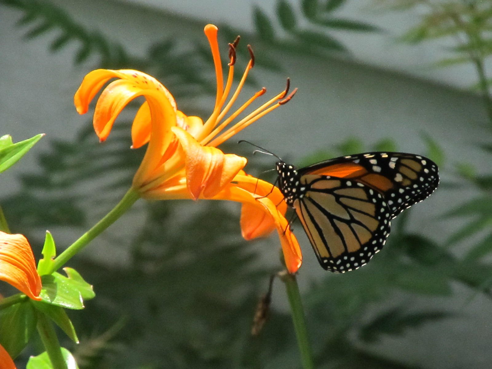 BUTTERFLY ON FLOWER, ATTRACTING BUTTERFLIES, PLANTS FOR BUTTERFLIES, BUTTERFLY GARDENS