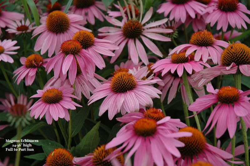 purple coneflower, drought tolerant flowers, drought tolerant perennials, winnipeg garden centers, perennials winnipeg, purple perennials