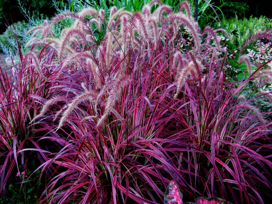 fireworks fountain grass, jensen nursery and garden center, winnipeg, greenhouse, annual grasses, outdoor container pots
