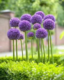gladiator allium, fall bulbs, winnipeg, jensen nursery and landscaping