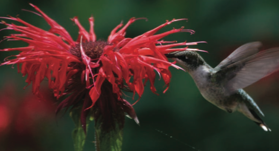 hummingbirds, attracting hummingbirds, flowers that attract hummingbirds, hummingbird plants