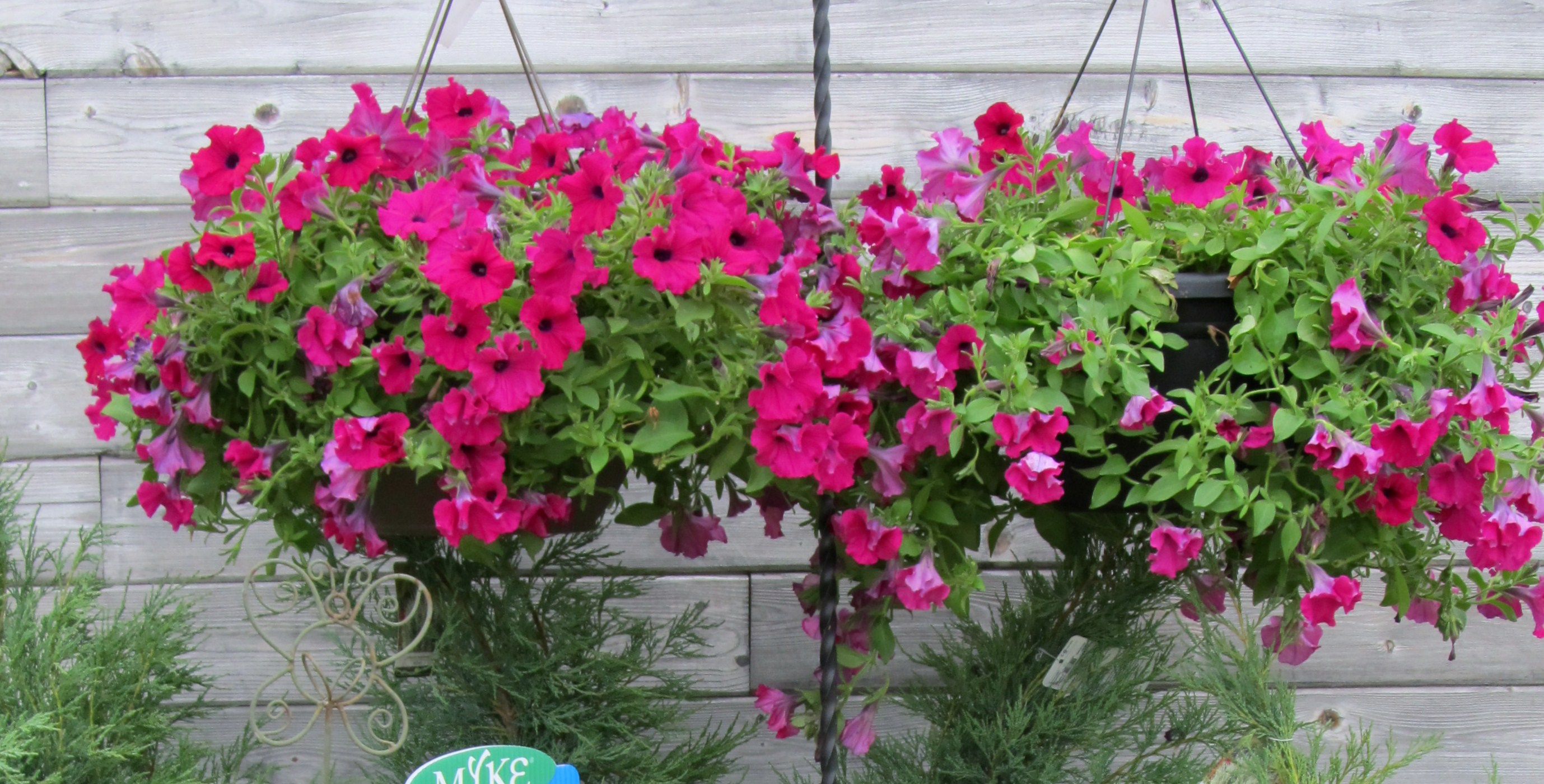 petunia baskets, Jensen Nursery and Landscaping, Winnipeg