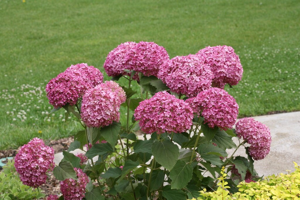 Invincibelle Mini Mauvette Hydrangea, new hydrangea, jensen nursery, flowering plants