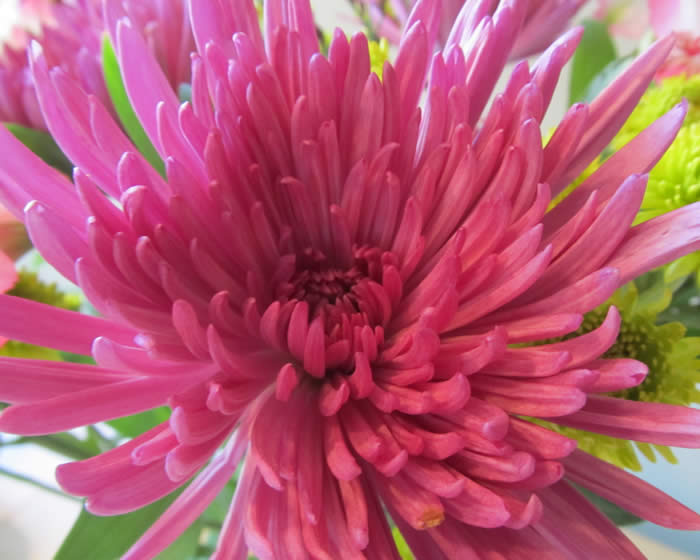 Dahlias - Jensen's Nursery and Garden Centre - Garden Center - Winnipeg - Manitoba