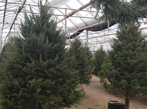christmas trees, free christmas tree delivery, christmas tree delivery in winnipeg, free christmas tree delivery in winnipeg, winnipeg christmas trees