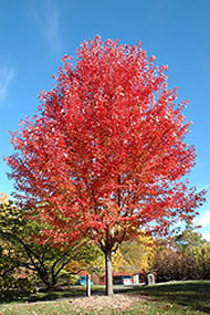 autumn blaze maple, maple fall color, red fall colors, trees for sale, trees with red color, trees with 5 yr warranty, jensen nursery and garden center, winnipeg garden centres, trees
