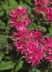 Bee Balm - Jensen's Nursery and Garden Centre - Plant Nursery - Winnipeg - Manitoba