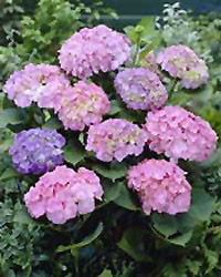 Invincibelle Spirit Hydrangea - Jensen's Nursery and Garden Centre - Garden Center - Winnipeg – Manitoba