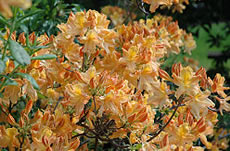 Golden Lights Azalea - Jensen's Nursery and Garden Centre - Plant Nursery - Winnipeg - Manitoba