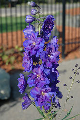 Pagan Purples Larkspur Delphinium - Jensen's Nursery and Garden Centre - Garden Center - Winnipeg - Manitoba