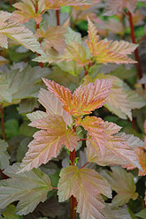 Coppertina Ninebark Physocarpus opulifolius - Jensen's Nursery and Garden Centre - Garden Center - Winnipeg - Manitoba