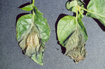 Blight on Leaves - Jensen's Nursery and Garden Centre - Container Gardening - Winnipeg - Manitoba