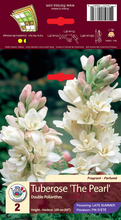 Tuberose Double Polianthes The Pearl - Jensen's Nursery and Garden Centre - Container Gardening - Winnipeg - Manitoba