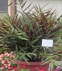 Alpinia Luteocarpa 'Bamboo Ginger - Jensen's Nursery and Garden Centre - Garden Center - Winnipeg - Manitoba