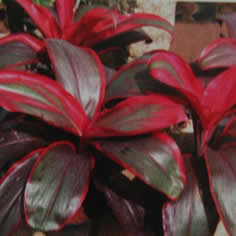 Cordyline Terminalis 'Ruby' - Jensen's Nursery and Garden Centre - Plant Nursery - Winnipeg - Manitoba