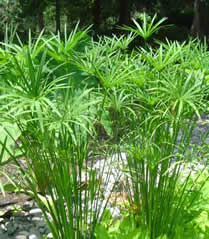 Cyperus alternifolius AKA Umbrella Grass - Jensen's Nursery and Garden Centre - Plant Nursery - Winnipeg - Manitoba