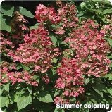 Fire and Ice Hydrangea in Early Fall Color - Jensen's Nursery and Garden Centre - Plant Nursery - Winnipeg - Manitoba