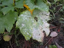 Powdery Mildew on Leaves - Jensen's Nursery and Garden Centre - Plant Nursery - Winnipeg - Manitoba