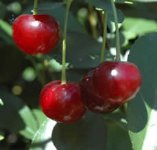 Romeo Cherry - Jensen's Nursery and Garden Centre - Garden Center - Winnipeg - Manitoba