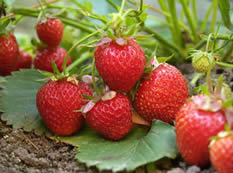 Strawberries - Jensen's Nursery and Garden Centre - Garden Center - Winnipeg - Manitoba